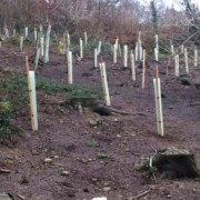 Why use bioChar when transplanting saplings
