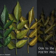 Ode to the Ash Tree Poetry Project